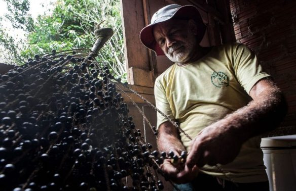 """Com 64 anos, """"Seu Silva"""" escala em poucos segundos o açaizeiro para colher a rama de açaí que, no Pará, é servida com a comida. Foto: Lilo Clareto/Repórter Brasil"""